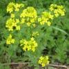 Лекарственное растение сурепка обыкновенная
