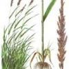 Лекарственное растение тростник обыкновенный