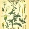 Лекарственное растение тысячелистник обыкновенный