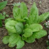 Лекарственные растения растущие на грядке