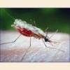 Малярия симптомы, лечение, профилактика, диагностика