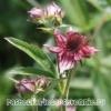 Многолетние травянистые растения из семейства ароидных: Сабельник