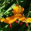 Момордика - что за растение? Полезные и лечебные свойства, применение в медицине