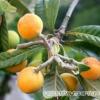 Мушмула: о выращивании из семян в Подмосковье
