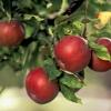 Обрезка яблонь осенью