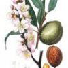 Обыкновенный миндаль: лекарственное растение