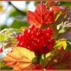 Осенние ягоды для укрепления иммунитета