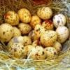 Перепелиные яйца: полезные свойства, противопоказания, рецепты