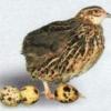 Перепелиные яйца: польза и вред, как готовить