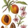 Плодовое дерево персик обыкновенный