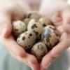 Полезны ли перепелиные яйца?