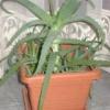 Полезные растения алоэ и каланхоэ