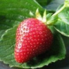 Полезные свойства ягод клубники