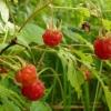 Полезные свойства ягод, листьев и цветов малины