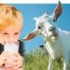 Полезные свойства козьего молока для ребенка