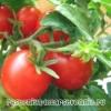 Помидоры: полезные свойства и противопоказания. Рецепты приготовления помидор