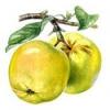 Практически полезные свойства яблок