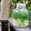 Приготовление и использование укропной воды для взрослых