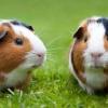 Продолжительность жизни морских свинок: определяющие факторы в домашних условиях