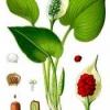 Растение белокрыльник болотный