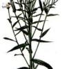 Растение чихотная трава
