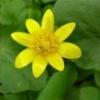 Растение чистяк весенний