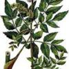 Растение дудник лесной