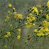 Растение ястребинка зонтичная