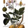 Растение картофель европейский
