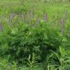 Растение козлятник лекарственный
