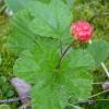 Растение морошка - свойства, применение, противопоказания, фото