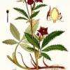 Растение сабельник болотный