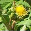 Растение семейства сложноцветных осот огородный
