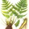 Растение щитовник мужской
