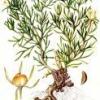 Растение степная рута - лечебная трава