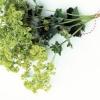 Растения, используемые в косметологии для продления молодости