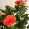 Роза Кордана микс: как ухаживать?