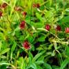 Сабельник болотный: где растет, полезные свойства, противопоказания, отзывы