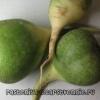 Салат из зеленой редьки. Рецепт
