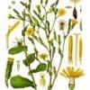Съедобные дикорастущие растения: латук дикий