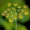Семена укропа: полезные свойства и применение. Лечение семенами укропа в народной медицине