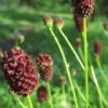 Свойства травы кровохлебка лекарственная