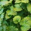 Терапевтические свойства растения мелисса