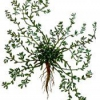 Трава горец птичий (спорыш) - фото, описание, противопоказания