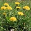 Трава, корень одуванчика - лечебные свойства