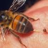 Укус пчелы: последствия. Что делать при укусе пчелы?
