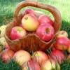 Витамины содержащиеся в яблоках – какие?
