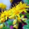 Золотой корень. Родиола розовая: свойства и применение